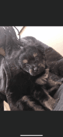 YorkiePoo Puppies for sale in West Bloomfield Township, MI, USA. price: NA