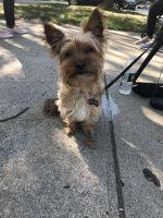 YorkiePoo Puppies for sale in Brighton, Boston, MA, USA. price: NA