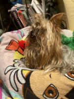 YorkiePoo Puppies for sale in Allentown, PA 18102, USA. price: NA
