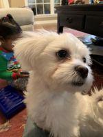 YorkiePoo Puppies for sale in Sherwood, AR, USA. price: NA