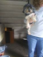 YorkiePoo Puppies for sale in St Cloud, FL, USA. price: NA