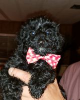 YorkiePoo Puppies for sale in Frostproof, FL 33843, USA. price: NA