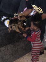 YorkiePoo Puppies for sale in Pickerington, OH, USA. price: NA