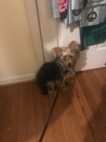 YorkiePoo Puppies for sale in 13317 Old Fort Rd, Fort Washington, MD 20744, USA. price: NA