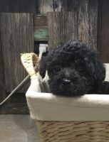 YorkiePoo Puppies for sale in Manchester, TN 37355, USA. price: NA