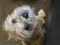 YorkiePoo Puppies for sale in Hartford, CT, USA. price: NA