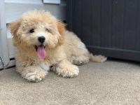 YorkiePoo Puppies for sale in Burke, VA, USA. price: NA