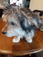 YorkiePoo Puppies for sale in 8667 Laverne, Newport, MI 48166, USA. price: NA