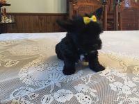 YorkiePoo Puppies for sale in Newnan, GA, USA. price: NA