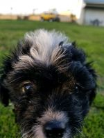 YorkiePoo Puppies for sale in Van, TX, USA. price: NA