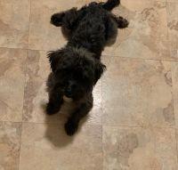 YorkiePoo Puppies for sale in Cheektowaga, NY, USA. price: NA