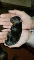 YorkiePoo Puppies for sale in Snow Hill, NC 28580, USA. price: NA