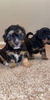 YorkiePoo Puppies for sale in Orlando, FL, USA. price: NA