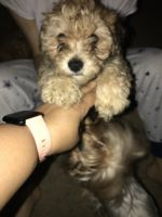 YorkiePoo Puppies for sale in Anaheim, CA, USA. price: NA