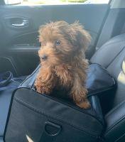 YorkiePoo Puppies for sale in Fairfax, VA, USA. price: NA