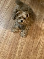 YorkiePoo Puppies for sale in Queens, NY, USA. price: NA