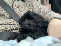 YorkiePoo Puppies for sale in Grand Prairie, TX 75052, USA. price: NA