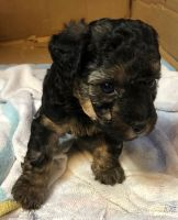 YorkiePoo Puppies for sale in Austin, TX, USA. price: NA