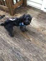 YorkiePoo Puppies for sale in Pen Argyl, PA 18072, USA. price: NA