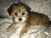 YorkiePoo Puppies for sale in Dayton, OH 45405, USA. price: NA
