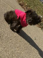 YorkiePoo Puppies for sale in 114-17 125th St, Jamaica, NY 11420, USA. price: NA