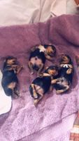 YorkiePoo Puppies for sale in Baltimore, MD, USA. price: NA