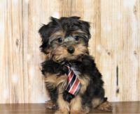 YorkiePoo Puppies for sale in Harrisonburg, VA 22802, USA. price: NA
