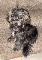 YorkiePoo Puppies for sale in 6424 Longford Rd, Dayton, OH 45424, USA. price: NA