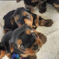 YorkiePoo Puppies for sale in Macomb, MI 48042, USA. price: NA