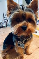 YorkiePoo Puppies for sale in Belgium, WI, USA. price: NA