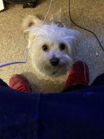 YorkiePoo Puppies for sale in Harrisburg, PA, USA. price: NA