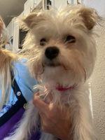 YorkiePoo Puppies for sale in Overland Park, KS, USA. price: NA