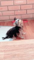 YorkiePoo Puppies for sale in Margate, FL, USA. price: NA