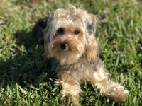 YorkiePoo Puppies for sale in Pinellas County, FL, USA. price: NA