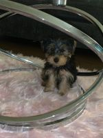 YorkiePoo Puppies for sale in Huron Valley Trail, Lyon Charter Twp, MI, USA. price: NA