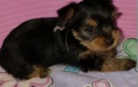 YorkiePoo Puppies for sale in Fort Worth, TX, USA. price: NA