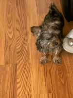 YorkiePoo Puppies for sale in 2214 Parish Ave, Newport News, VA 23607, USA. price: NA