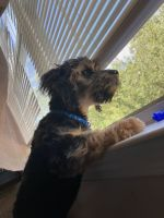 YorkiePoo Puppies for sale in 410 Parkway Rd, Union City, GA 30291, USA. price: NA