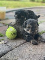 YorkiePoo Puppies for sale in Fort Lauderdale, FL, USA. price: NA