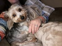 YorkiePoo Puppies for sale in Dunn, NC 28334, USA. price: NA