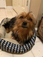 YorkiePoo Puppies for sale in Atlanta, GA, USA. price: NA