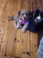 YorkiePoo Puppies for sale in Lawrenceville, GA, USA. price: NA