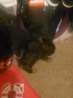 YorkiePoo Puppies for sale in Union City, GA, USA. price: NA