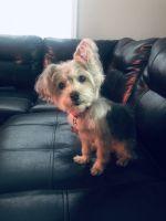 YorkiePoo Puppies for sale in Warren, MI, USA. price: NA