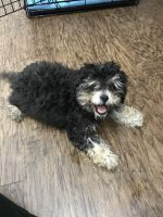 YorkiePoo Puppies for sale in 3090 Outlet Pkwy, Grand Prairie, TX 75052, USA. price: NA
