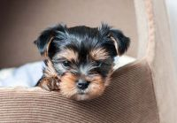YorkiePoo Puppies for sale in Canada, KY 41519, USA. price: NA