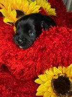 YorkiePoo Puppies for sale in Portsmouth, VA, USA. price: NA