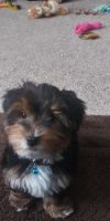 YorkiePoo Puppies for sale in Friendship, WI 53934, USA. price: NA