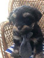 YorkiePoo Puppies Photos