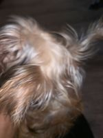 YorkiePoo Puppies for sale in New York, NY, USA. price: NA